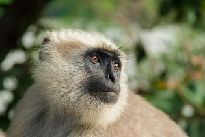 black-faced-monkey